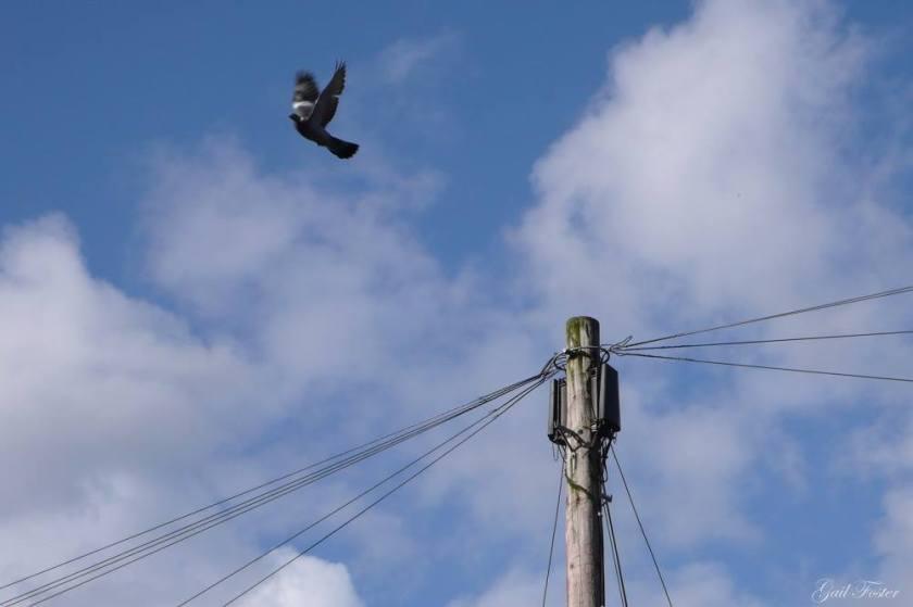 randy pigeons